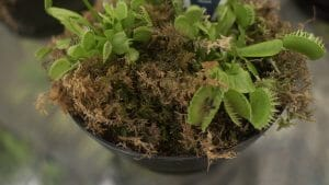 Venus fly trap with fly caught inside!